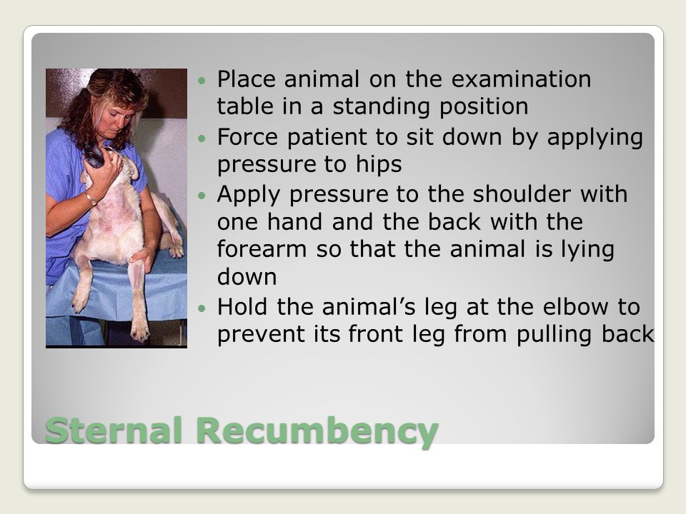 Sternal Recumbency Place animal on the examination table in a standing position Force patient to sit down by applying pressure to hips Apply pressure