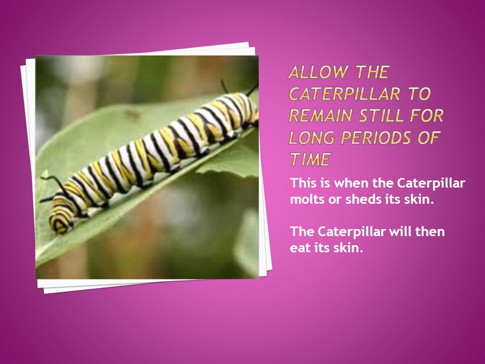 This is when the Caterpillar molts or sheds its skin. The Caterpillar will then eat its skin.