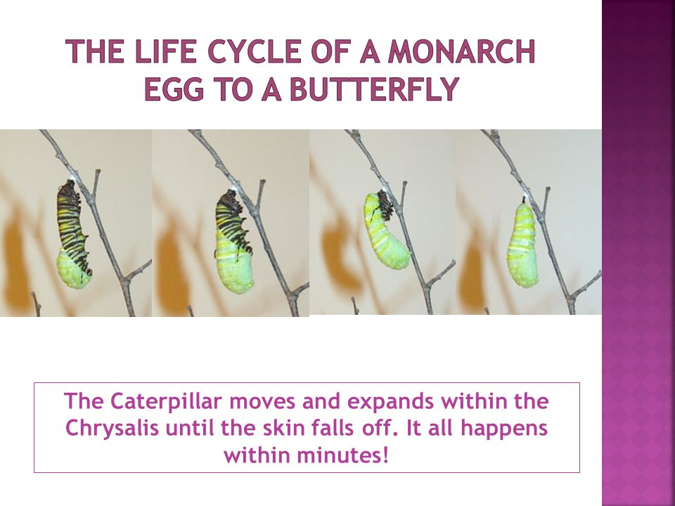 The Caterpillar moves and expands within the Chrysalis until the skin falls off.