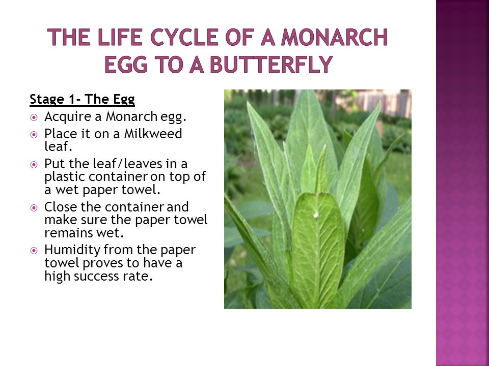 Stage 1- The Egg  Acquire a Monarch egg.  Place it on a Milkweed leaf.