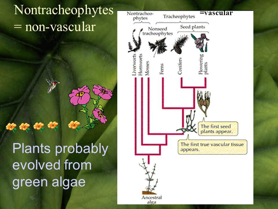 Plants probably evolved from green algae Nontracheophytes = non-vascular =vascular