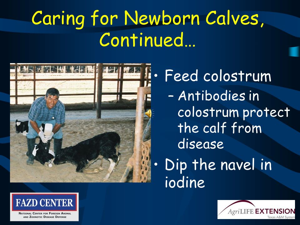 If You Are Responsible for Caring for Newborn Calves Provide clean, dry housing for calf Keep calves separated from older animals Work with them before older animals