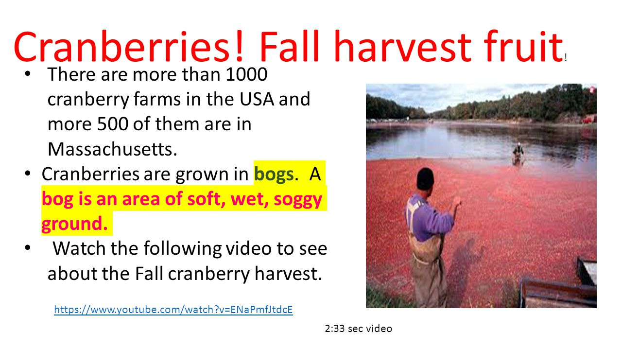 https://www.youtube.com/watch?v=ENaPmfJtdcE 2:33 sec video Cranberries! Fall harvest fruit ! There are more than 1000 cranberry farms in the USA and m