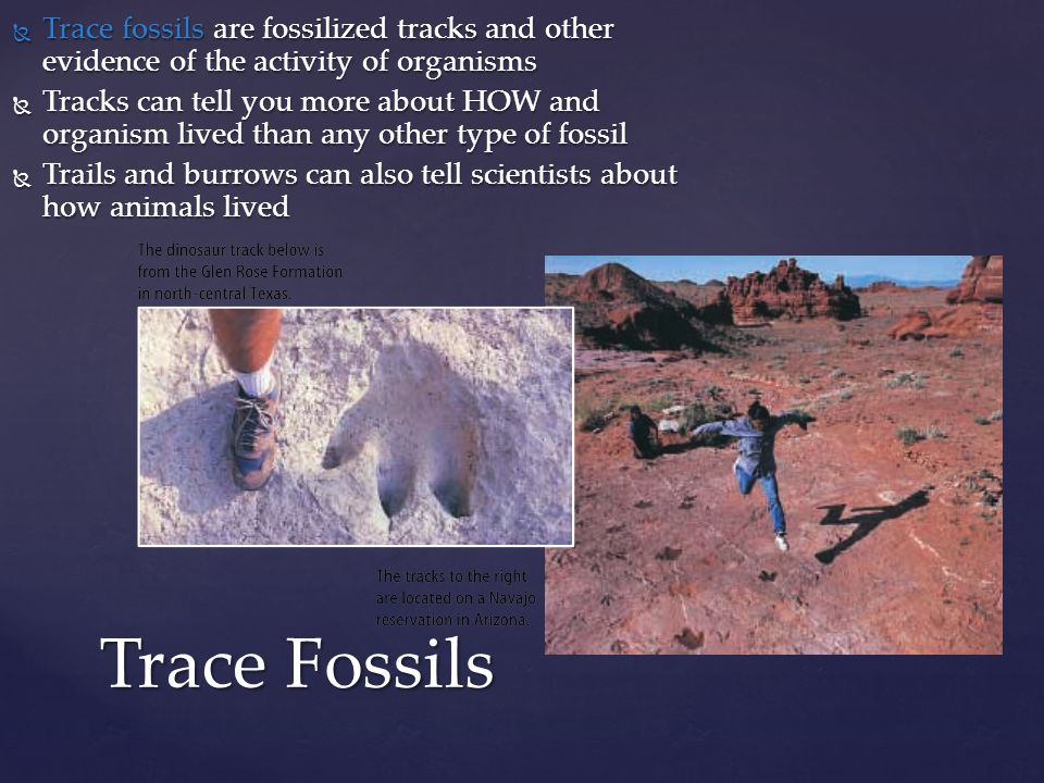  Trace fossils are fossilized tracks and other evidence of the activity of organisms  Tracks can tell you more about HOW and organism lived than any