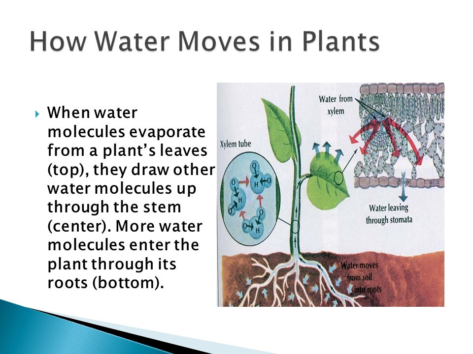  When water molecules evaporate from a plant's leaves (top), they draw other water molecules up through the stem (center).