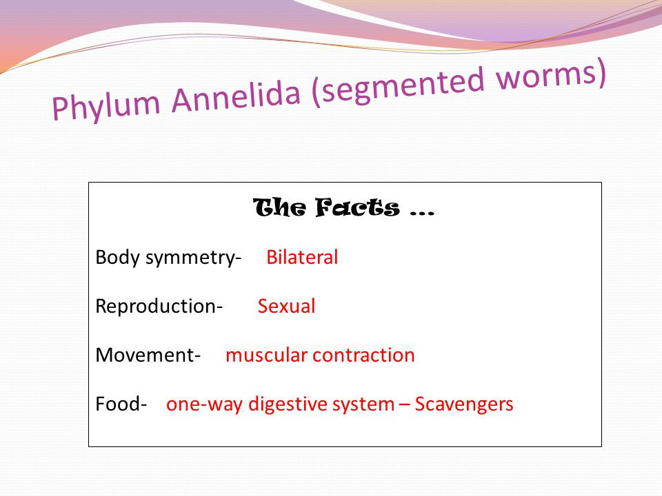 Phylum Annelida (segmented worms) The Facts … Body symmetry- Bilateral Reproduction- Sexual Movement- muscular contraction Food- one-way digestive system – Scavengers