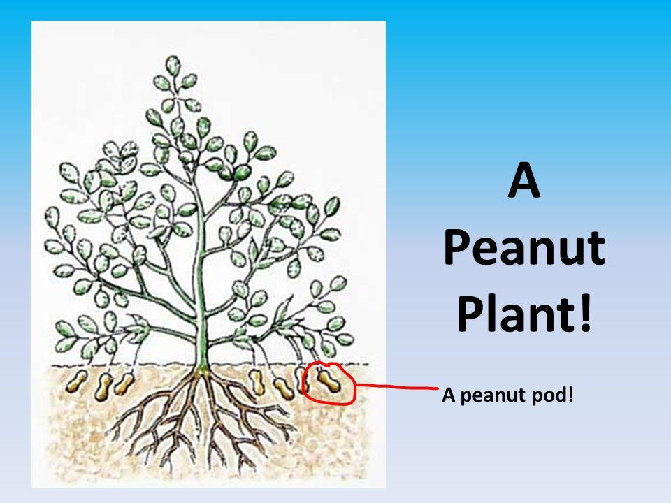 A Peanut Plant! A peanut pod!