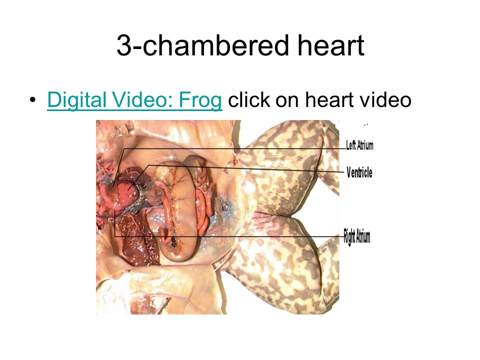 3-chambered heart Digital Video: Frog click on heart videoDigital Video: Frog