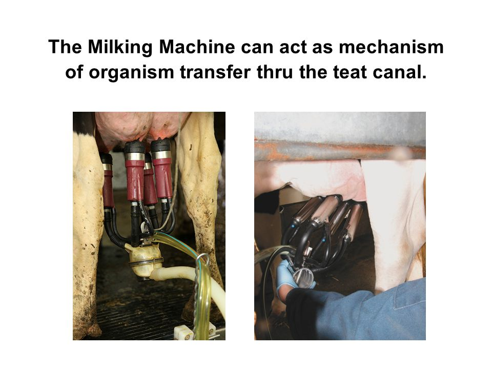 The Milking Machine can act as mechanism of organism transfer thru the teat canal.