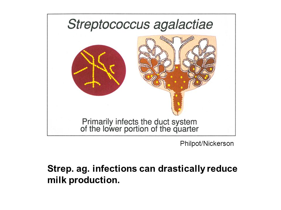 Strep. ag. infections can drastically reduce milk production. Philpot/Nickerson