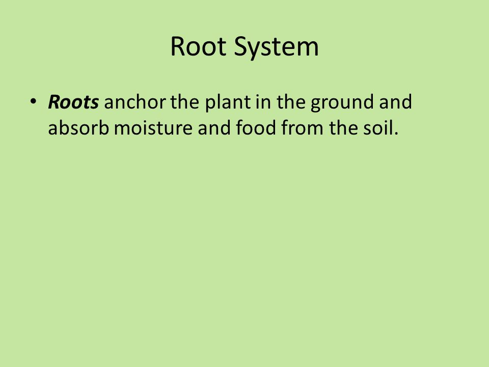 Root System Roots anchor the plant in the ground and absorb moisture and food from the soil.