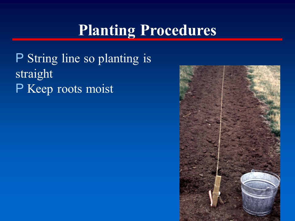 Planting Procedures P String line so planting is straight P Keep roots moist