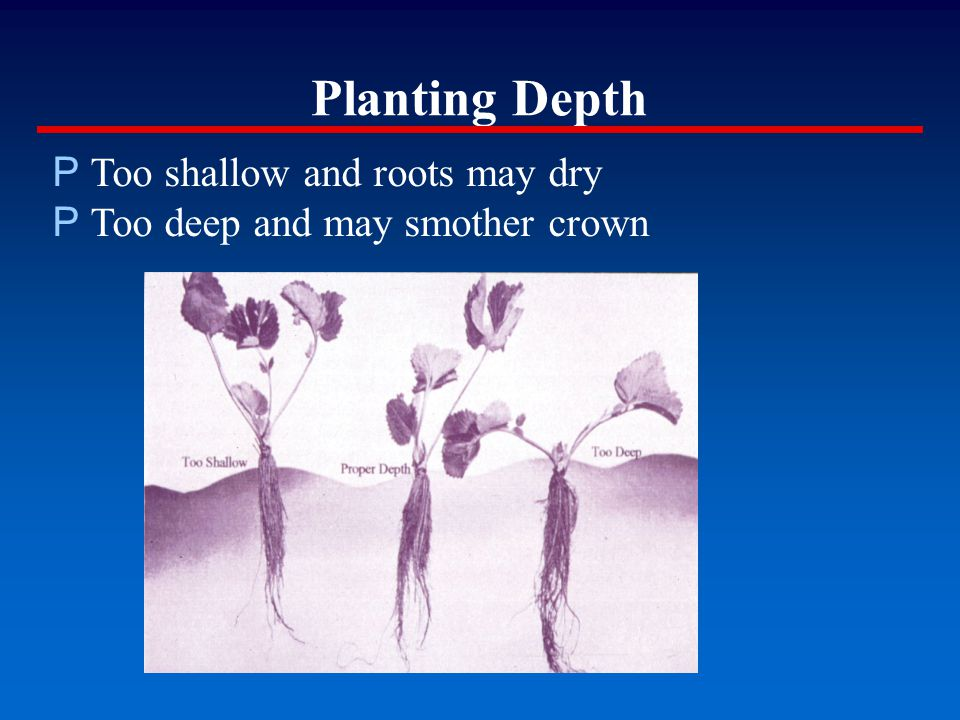 Planting Depth P Too shallow and roots may dry P Too deep and may smother crown