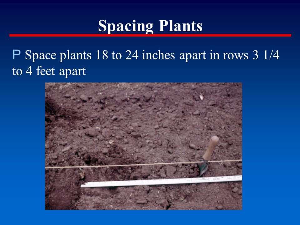 Spacing Plants P Space plants 18 to 24 inches apart in rows 3 1/4 to 4 feet apart