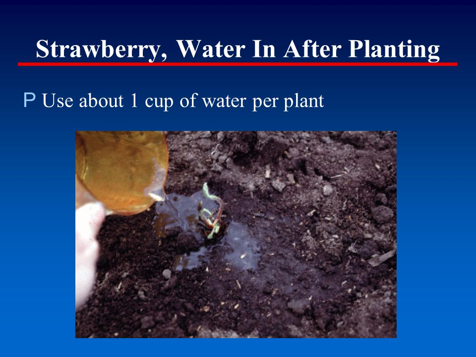 Strawberry, Water In After Planting P Use about 1 cup of water per plant