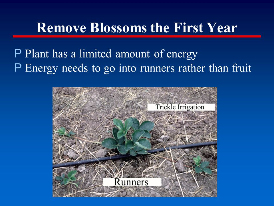 Remove Blossoms the First Year P Plant has a limited amount of energy P Energy needs to go into runners rather than fruit