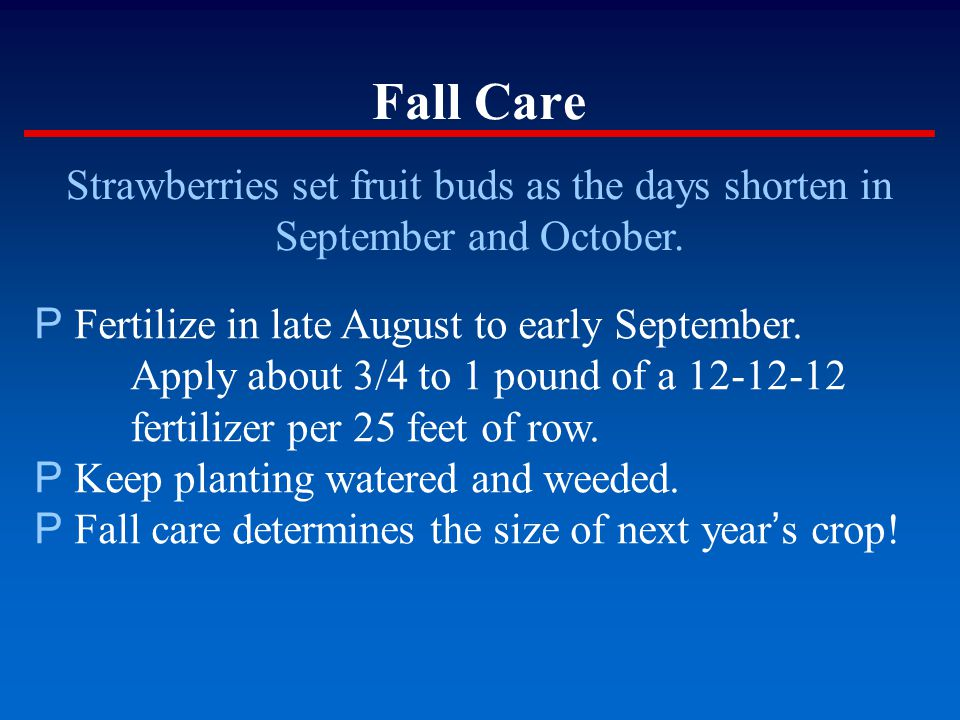 Fall Care Strawberries set fruit buds as the days shorten in September and October. P Fertilize in late August to early September. Apply about 3/4 to