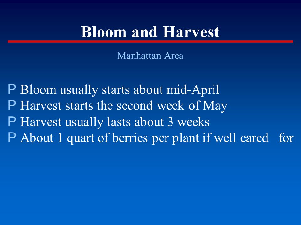 Bloom and Harvest Manhattan Area P Bloom usually starts about mid-April P Harvest starts the second week of May P Harvest usually lasts about 3 weeks
