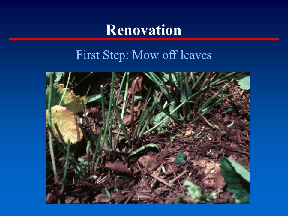 Renovation First Step: Mow off leaves