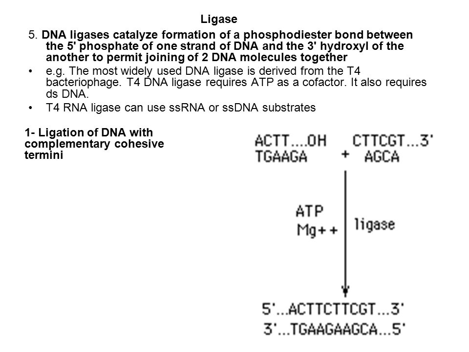 5. DNA ligases catalyze formation of a phosphodiester bond between the 5' phosphate of one strand of DNA and the 3' hydroxyl of the another to permit