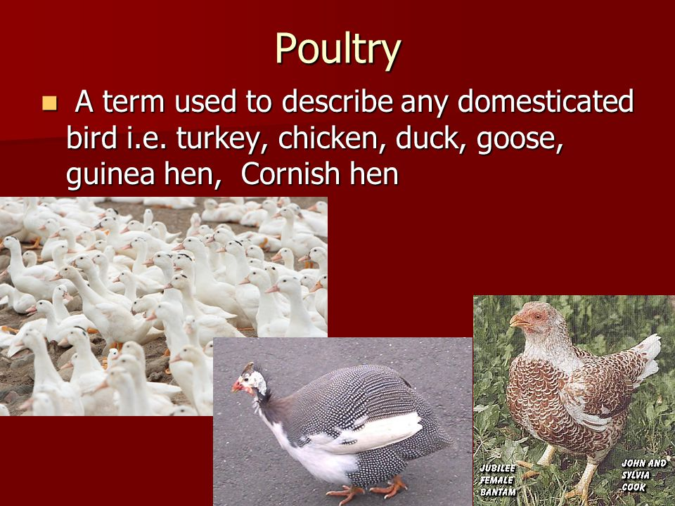 Poultry A term used to describe any domesticated bird i.e. turkey, chicken, duck, goose, guinea hen, Cornish hen A term used to describe any domestica