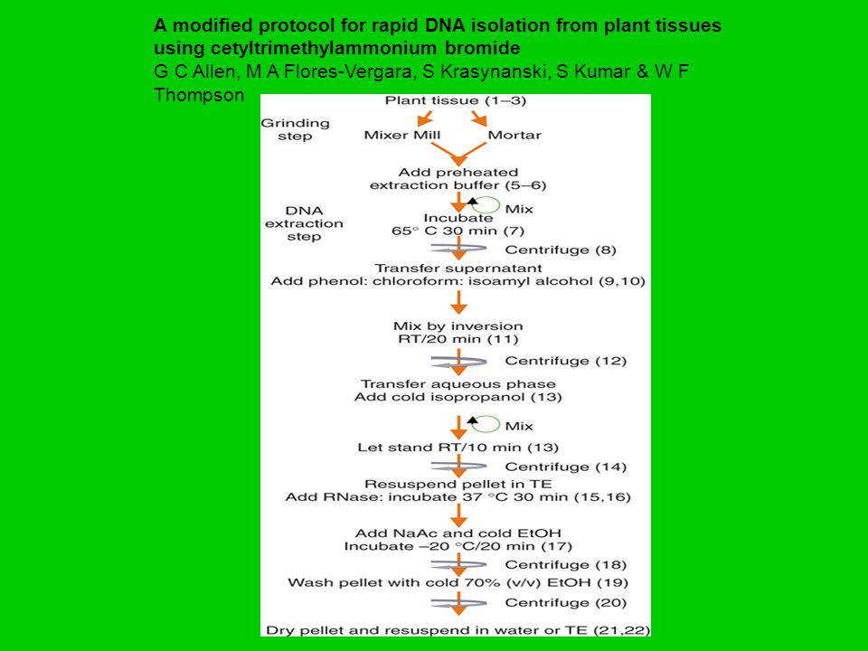A modified protocol for rapid DNA isolation from plant tissues using cetyltrimethylammonium bromide G C Allen, M A Flores-Vergara, S Krasynanski, S Ku
