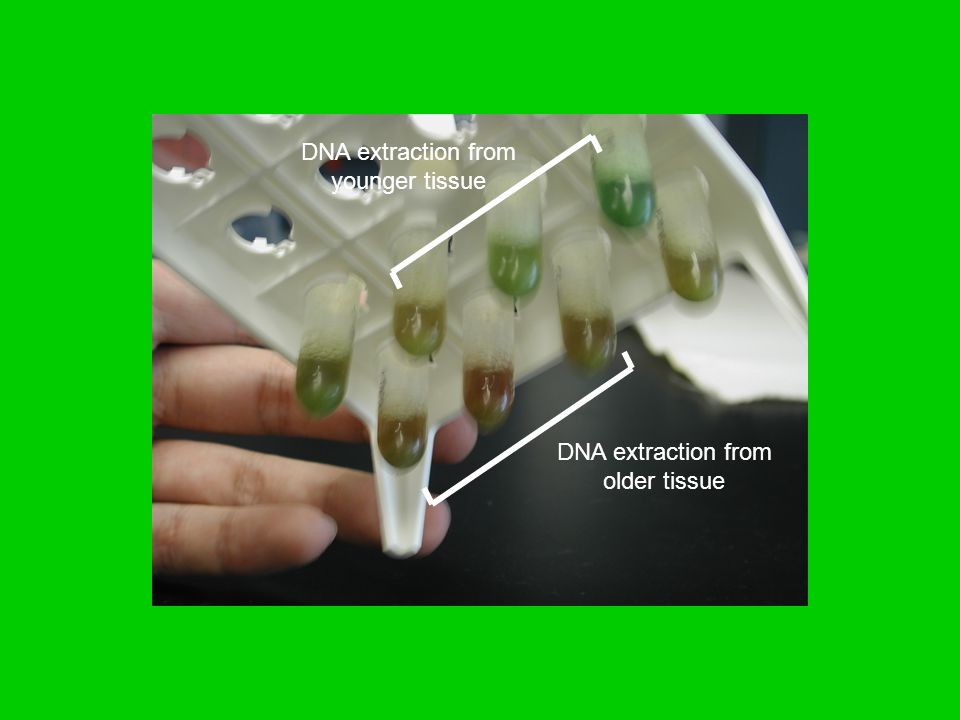 DNA extraction from older tissue DNA extraction from younger tissue