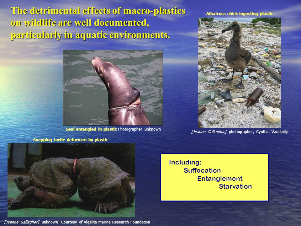 Including: Suffocation Entanglement Starvation [Jeanne Gallagher] photographer, Cynthia Vanderlip [Jeanne Gallagher] unknown--Courtesy of Algalita Marine Research Foundation The detrimental effects of macro-plastics on wildlife are well documented, particularly in aquatic environments.