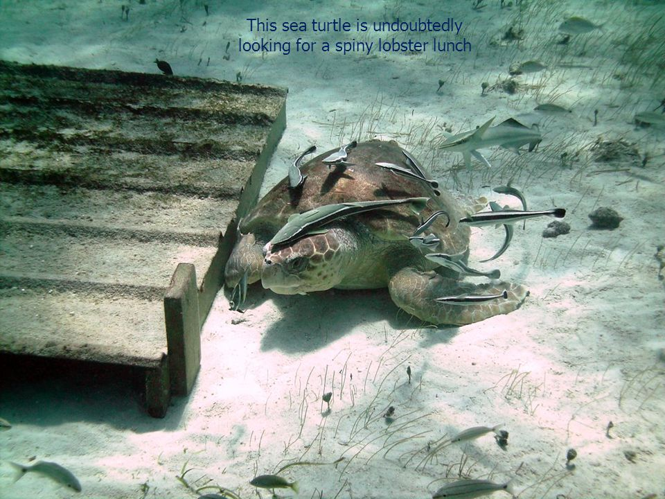 This sea turtle is undoubtedly looking for a spiny lobster lunch