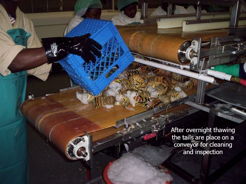 After overnight thawing the tails are place on a conveyor for cleaning and inspection