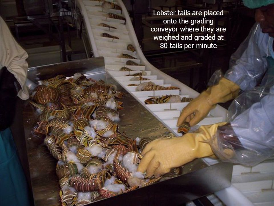 Lobster tails are placed onto the grading conveyor where they are weighed and graded at 80 tails per minute