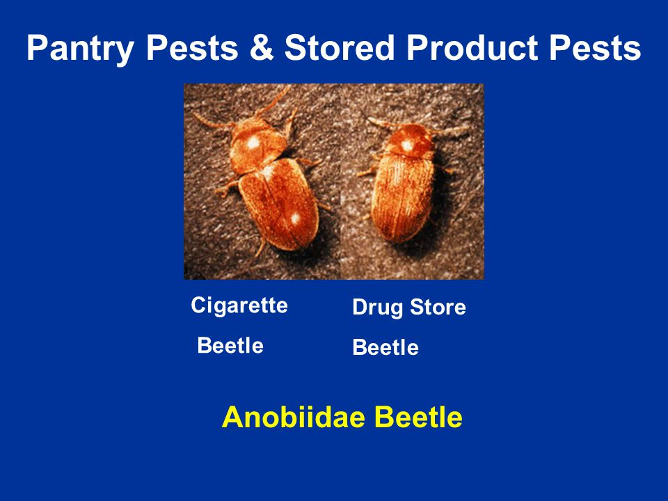 Cigarette Beetle Drug Store Beetle Anobiidae Beetle Pantry Pests & Stored Product Pests
