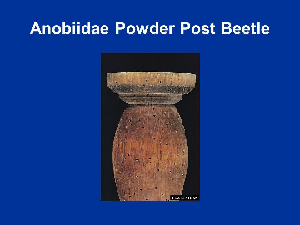 Anobiidae Powder Post Beetle