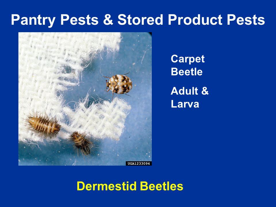 Carpet Beetle Adult & Larva Pantry Pests & Stored Product Pests Dermestid Beetles