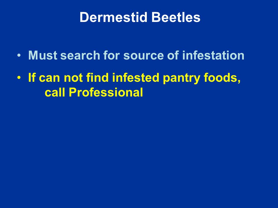Dermestid Beetles Must search for source of infestation If can not find infested pantry foods, call Professional