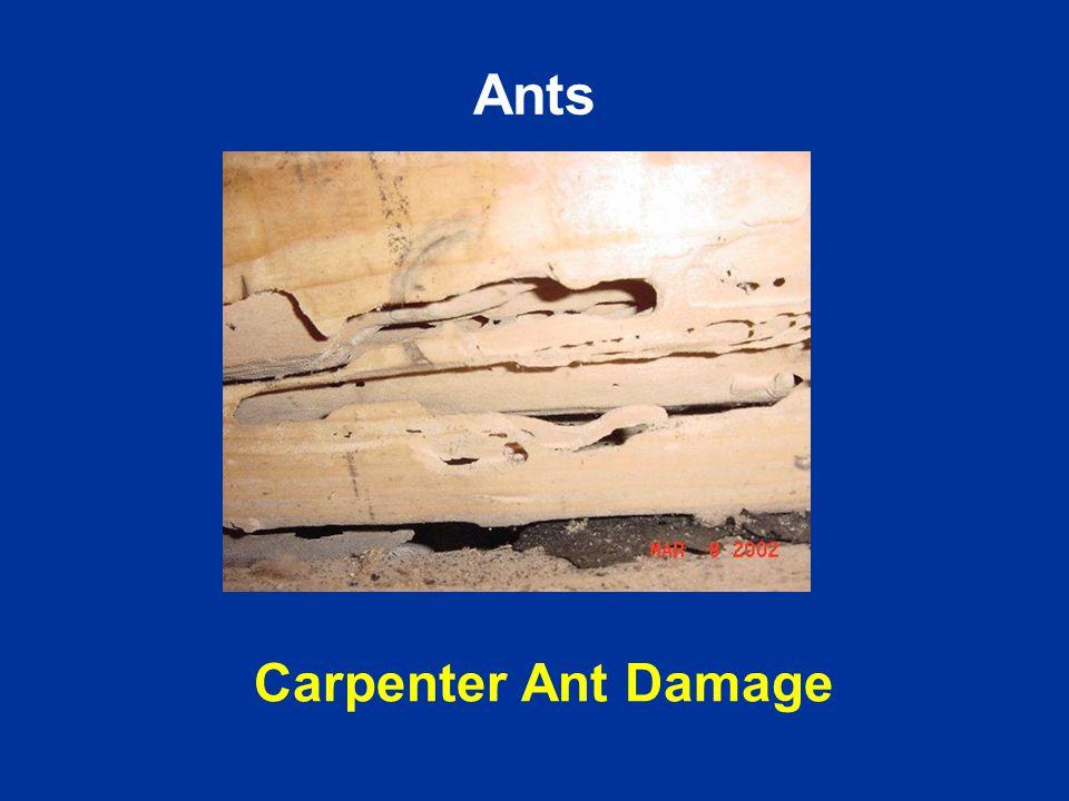 Carpenter Ant Damage Ants