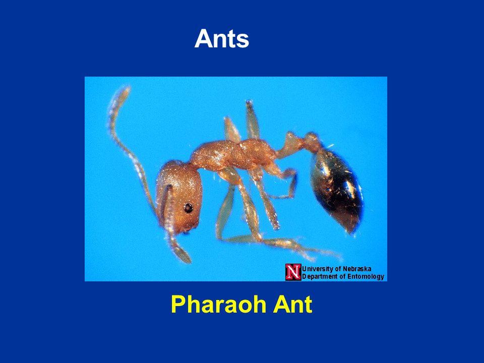 Pharaoh Ant Ants