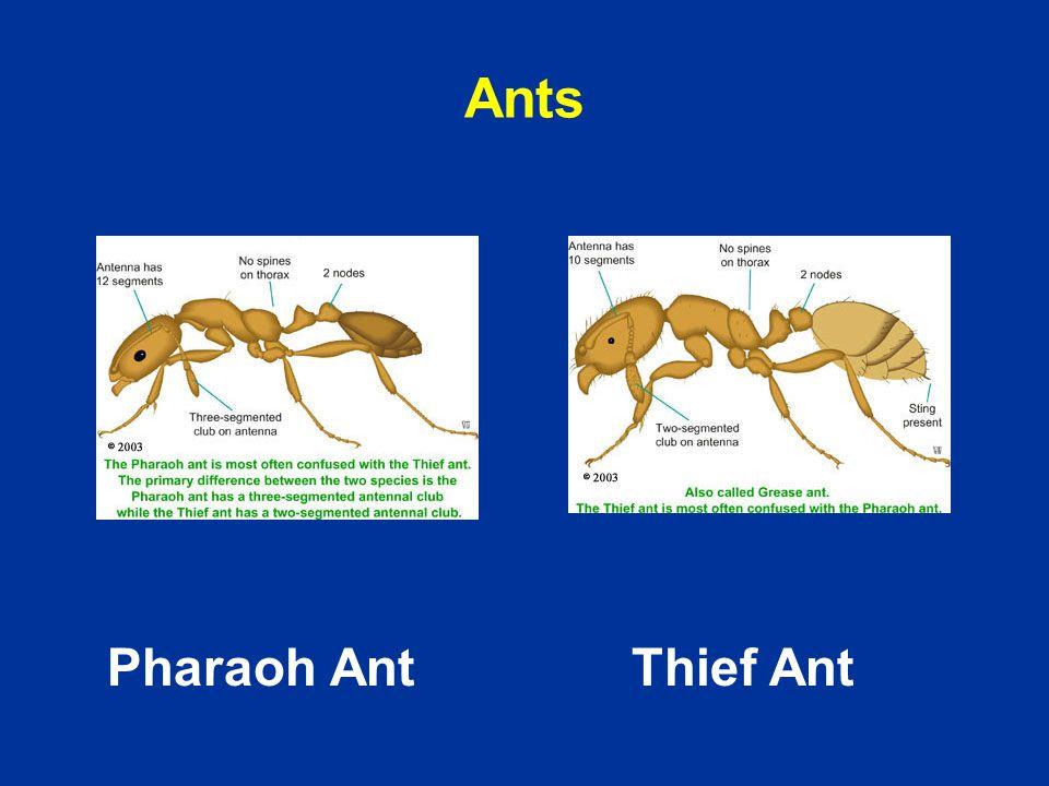Ants Pharaoh AntThief Ant