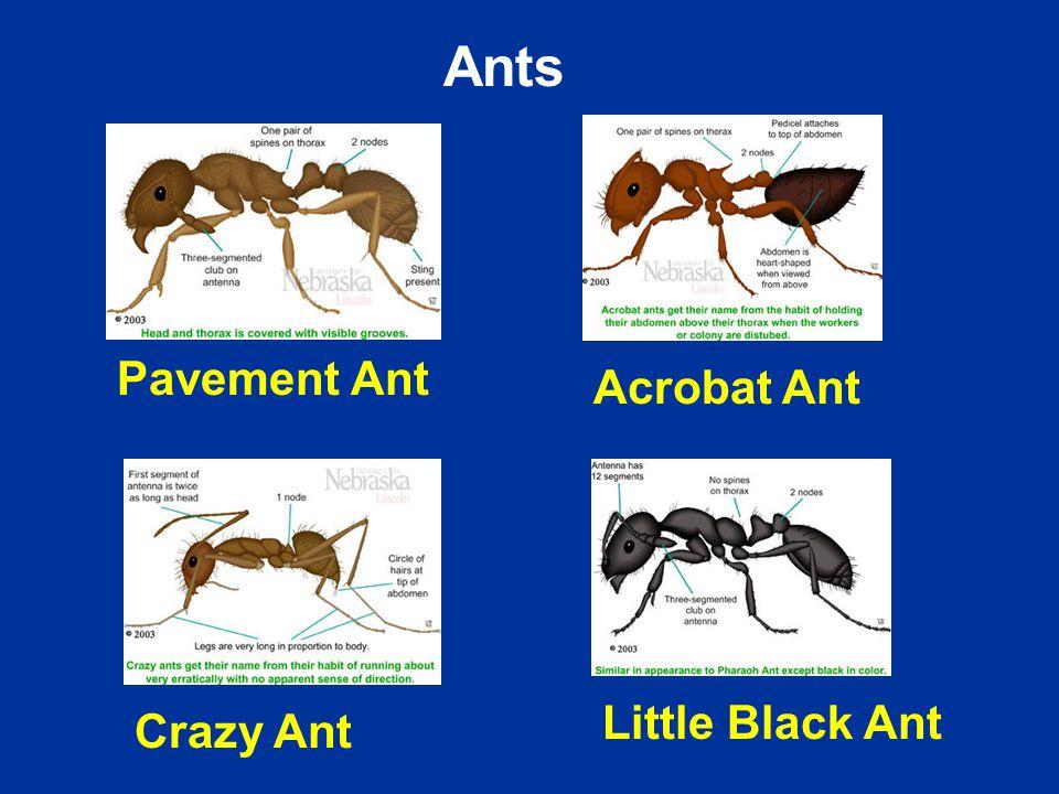 Acrobat Ant Crazy Ant Little Black Ant Pavement Ant Ants