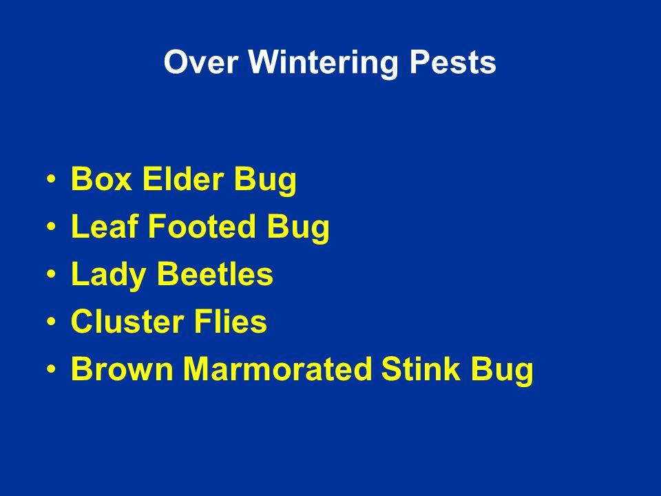 Box Elder Bug Leaf Footed Bug Lady Beetles Cluster Flies Brown Marmorated Stink Bug Over Wintering Pests