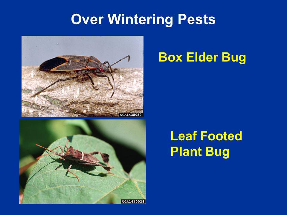Box Elder Bug Leaf Footed Plant Bug Over Wintering Pests