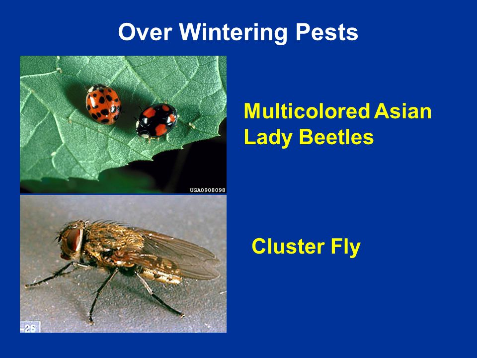 Multicolored Asian Lady Beetles Cluster Fly Over Wintering Pests