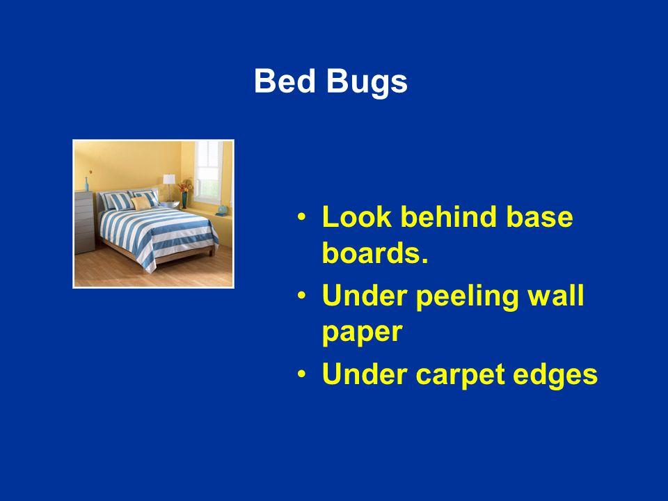 Bed Bugs Look behind base boards. Under peeling wall paper Under carpet edges
