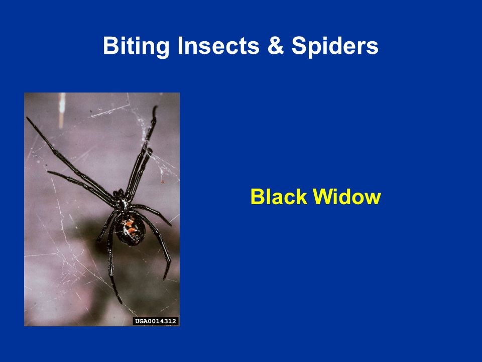 Black Widow Biting Insects & Spiders