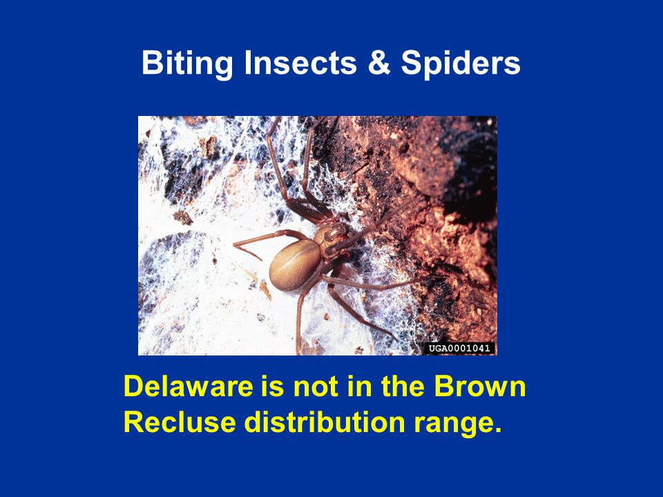 Delaware is not in the Brown Recluse distribution range. Biting Insects & Spiders