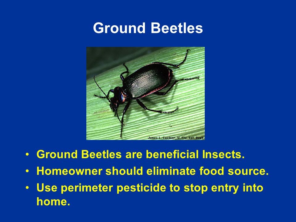 Ground Beetles Ground Beetles are beneficial Insects.