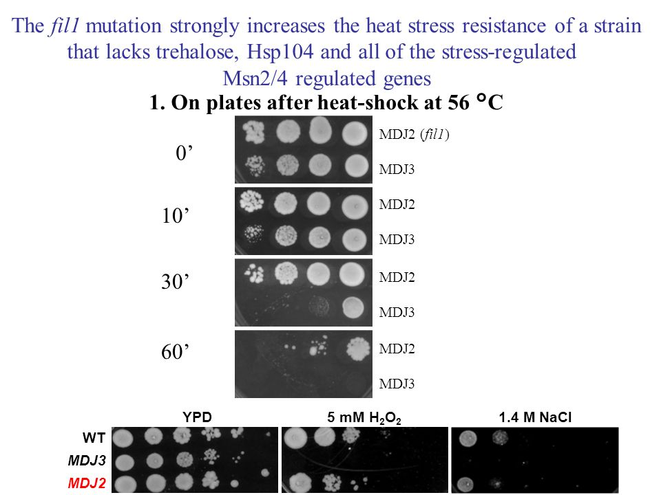 0' 10' 30' 60' MDJ2 (fil1) MDJ3 MDJ2 MDJ3 MDJ2 MDJ3 MDJ2 MDJ3 The fil1 mutation strongly increases the heat stress resistance of a strain that lacks t