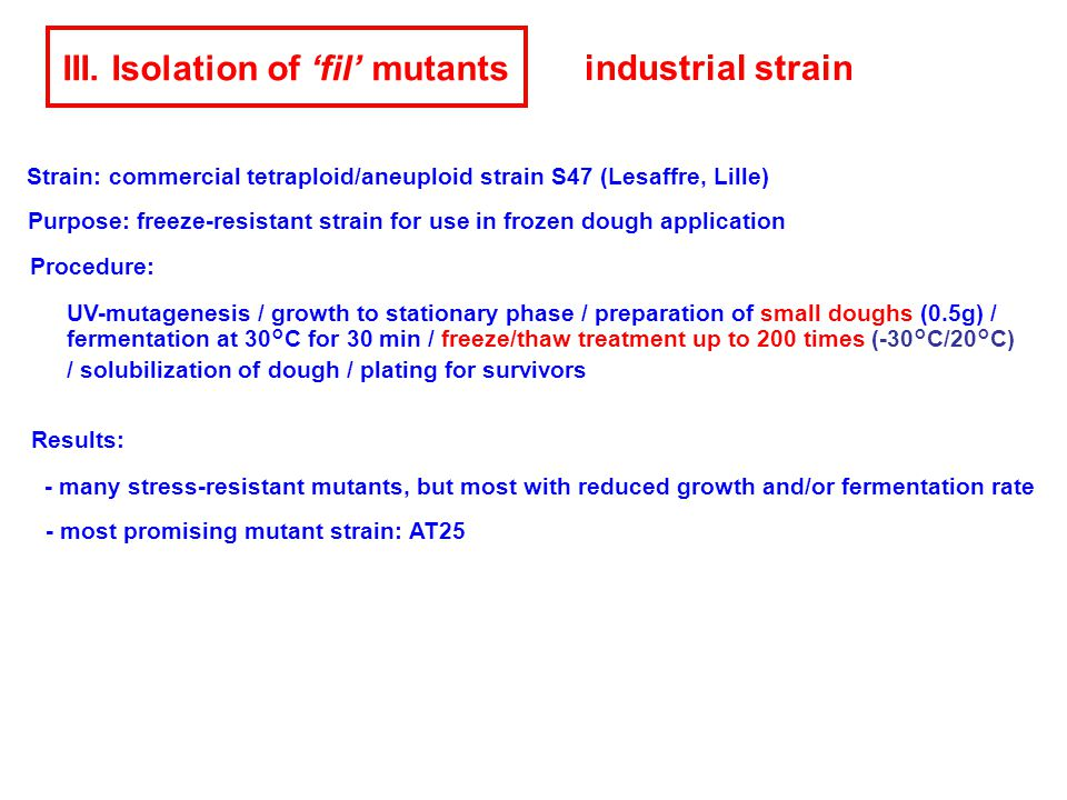 III. Isolation of 'fil' mutants Procedure: UV-mutagenesis / growth to stationary phase / preparation of small doughs (0.5g) / fermentation at 30°C for