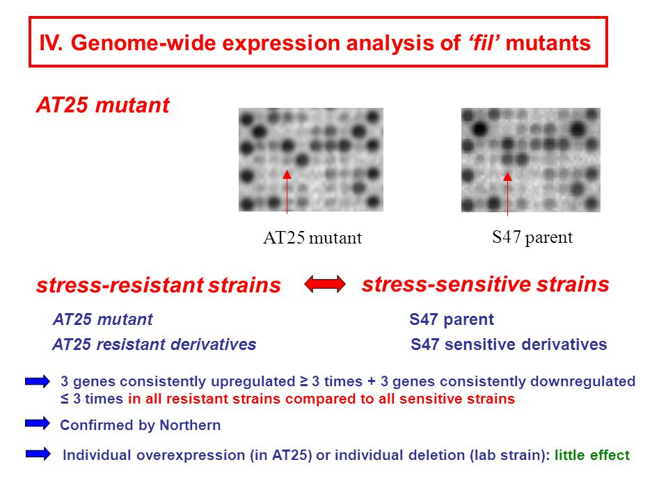 IV. Genome-wide expression analysis of 'fil' mutants AT25 mutant S47 parent AT25 mutantS47 parent stress-sensitive strains stress-resistant strains S4