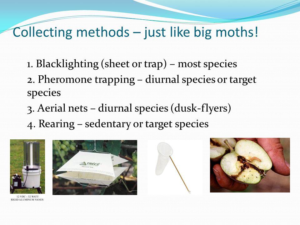 Collecting methods – just like big moths! 1. Blacklighting (sheet or trap) – most species 2. Pheromone trapping – diurnal species or target species 3.